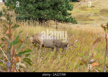 Large buck eating grass on hillside - Stock Photo