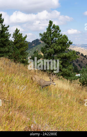 Eight point buck wild deer on hillside - Stock Photo
