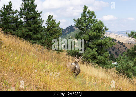 Wild deer large buck in Colorado Park - Stock Photo