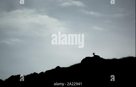 Goat laid down on top of the mountain - Stock Photo