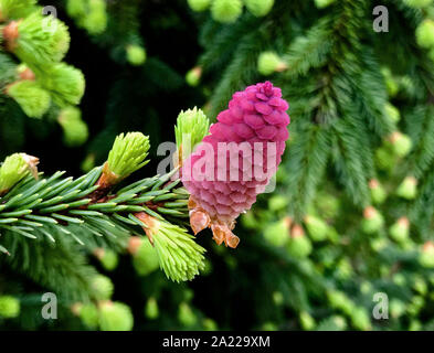 Blooming Spruce Acrocona, like a pink rose. Beautiful Christmas background of green fir needles. - Stock Photo