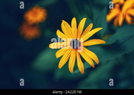 Beautiful fairy dreamy magic yellow rudbeckia hirta black-eyed susan sunflower flower on faded blurry blue green background. Dark art moody floral. To - Stock Photo