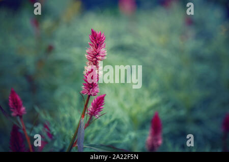 Beautiful fairy dreamy magic pink purple celosia argentea flower on faded blurry green blue background. Dark art moody floral. Toned with filters in r - Stock Photo