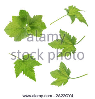 Currant leaf isolated. Collection - Stock Photo