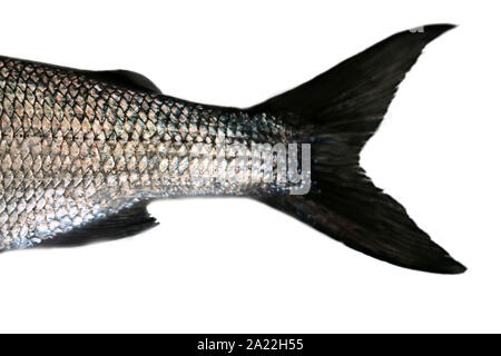 Fishtail. Whitefish (Coregonus lavaretus) - very polymorphic species of fish. Form from East part Gulf of Finland, Baltic sea. Fish isolated on white - Stock Photo