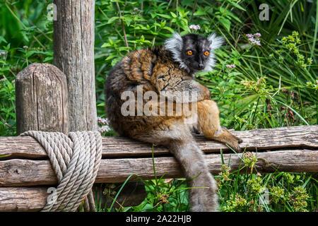 Black lemur (Eulemur macaco) female, endemic to Madagascar, sitting on wooden fence