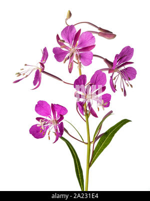 Willow Herb flowers isolated on white background - Stock Photo