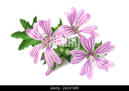 mallow flowers  isolated  on white background - Stock Photo