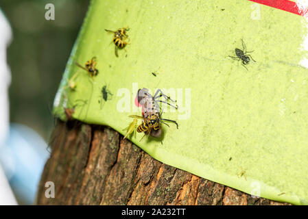 YELLOW JACKET (Vespula maculifrons) FEEDING ON  SPOTTED LANTERNFLY STUCK ON STICKY TRAP (LYCORMA DELICATULA), PENNSYLVANIA - Stock Photo
