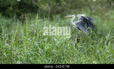 Grey Heron in reed bed - Stock Photo