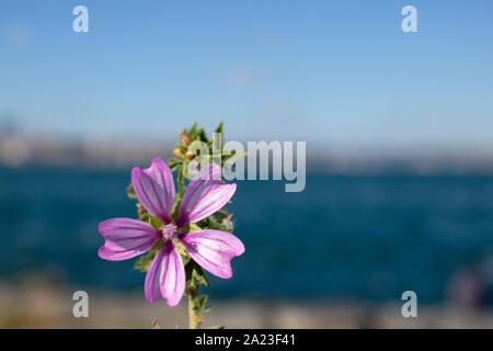 Close-up of one Malva pusilla flower. Sea and blurred background. - Stock Photo