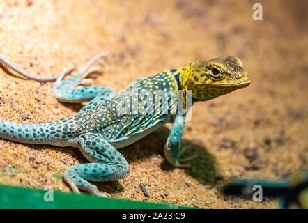 The common collared lizard (Crotaphytus collaris), also called eastern collared lizard,[2] Oklahoma collared lizard, yellow-headed collared lizard or - Stock Photo