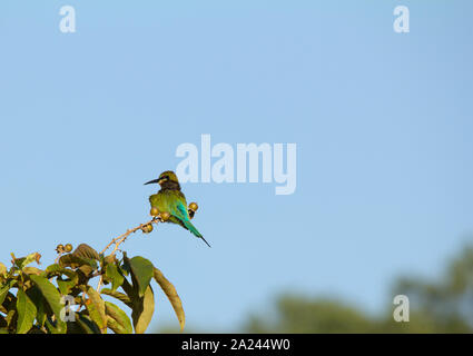 The blue-tailed bee-eater (Merops philippinus) is a near passerine bird in the bee-eater family Meropidae. It breeds in southeastern Asia. - Stock Photo