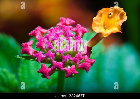 Close-up view of lantana camara flower with details on the center petals - Stock Photo