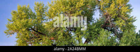 Giant cottonwood tree is starting to turn gold in early fall and sunset light, long panoramic banner - Stock Photo
