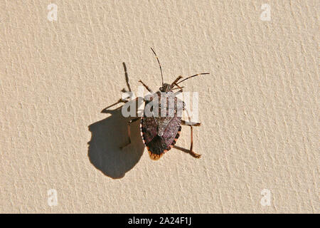 brown marmorated stink bug or shield bug Latin halyomorpha halys family pentatomidae native to China and Asia now a serious pest in Europe and the USA - Stock Photo