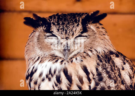 Great horned owl standing with eyes closed. Head of a sleeping owl closeup - Stock Photo