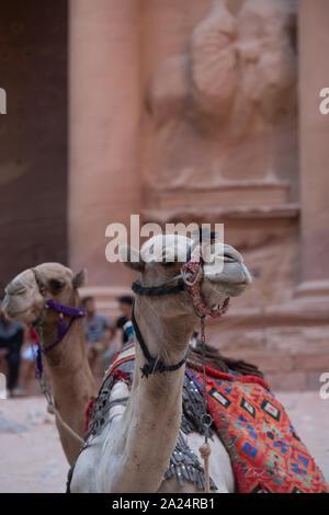 camel rests near the treasury Al Khazneh carved into the rock at Petra, Jordan - Stock Photo