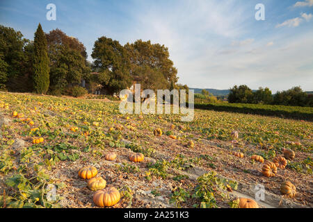 A field of pumpkins near Ménerbes, Provence, France - Stock Photo