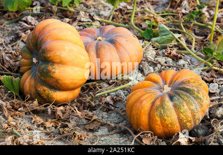 Fairy tale pumpkins in a field near Ménerbes, France - Stock Photo