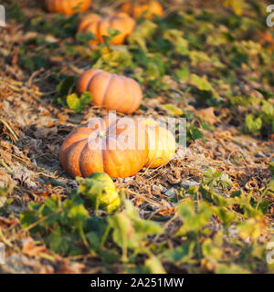 Fairy tale pumpkins in a fieldn in Provence, France - Stock Photo