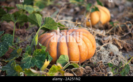 Musquee de Provence (fairytale) pumpkin in a field in Luberon, France - Stock Photo