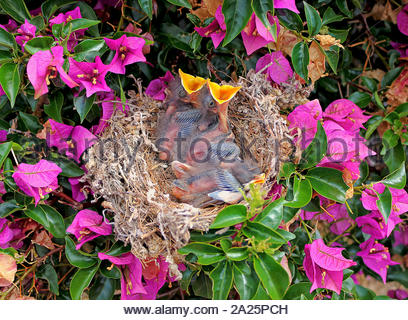 Nest with tree northern mockingbird chicks in a Bougainvillea plant - Stock Photo