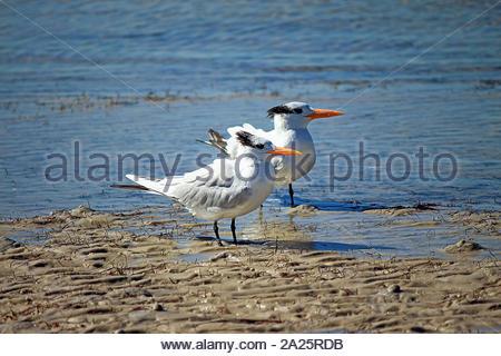 Thalasseus maximus, Royal Tern couple on the shore of the beach, Tampa, Florida, USA - Stock Photo