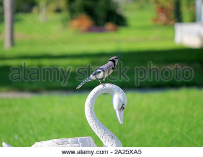 Blue Jay  perched on a swan figure in a garden. This bird was following me while taking photos ... very curious. - Stock Photo