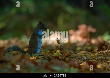 A female grey Squirrel foraging on the ground - Stock Photo