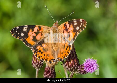 Close up image of colorful painted lady butterfly with spread wings sitting on purple thistle growing in a meadow on a summer day. Green background.