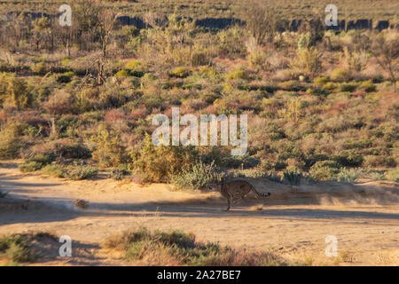 Cheetah running at full speed in wild park in South Africa - Stock Photo