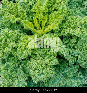 A close up view of organic green kale growing fast in a healthy and well-maintained vegetable patch - Stock Photo