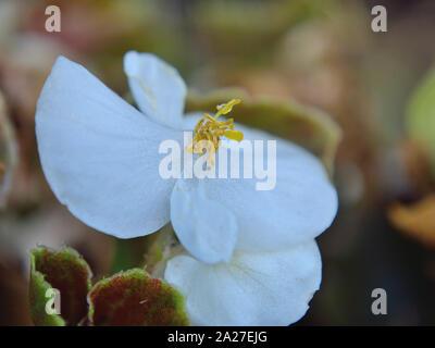 Close up of wax begonia white flower, Begonia x semperflorens-cultorum - Stock Photo