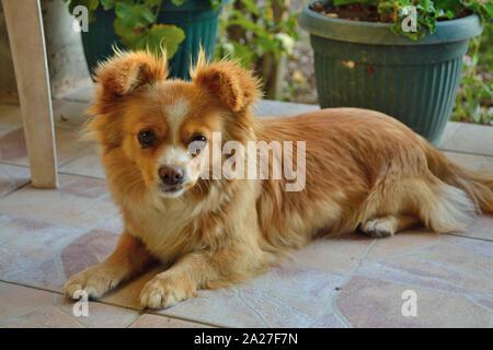 Pekingese mixed breed dog, Canis lupus familiaris