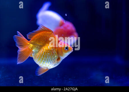 Goldfish swimming in the tank in blur background. - Stock Photo