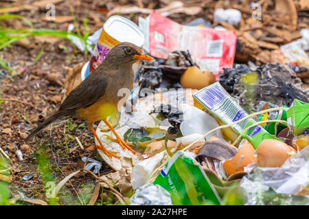 Colour photograph of the olive thrush (Turdus olivaceus) bird foraging on ground through discarded rubbish. - Stock Photo