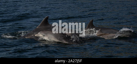Bottlenose Dolphins | Cromarty & Moray Firth 21.09.2019 - Stock Photo