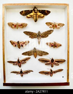 Butterfly collector's cabinet. A popular pastime particularly for gentlemen in the Victorian and Edwardian eras. Entomologists collected vast numbers of insects and pinned them into specially made cabinets. Continues today but is less politically correct as cameras can preserve all of the detail without destroying the subject. - Stock Photo