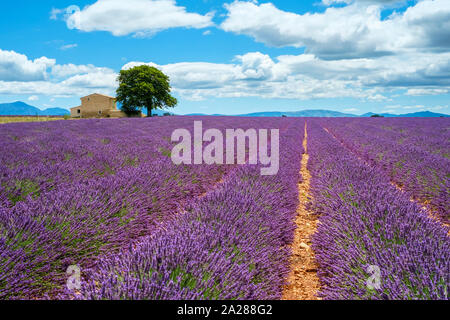 House on the edge of a lavender field in full bloom in early July, Plateau de Valensole, near Valensole, Alpes-de-Haute-Provence, Provence-Alpes-Côte- - Stock Photo