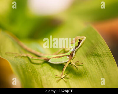 Portrait of Serated Caquehesd Iguana lizard - Laemanctus serratus - Stock Photo