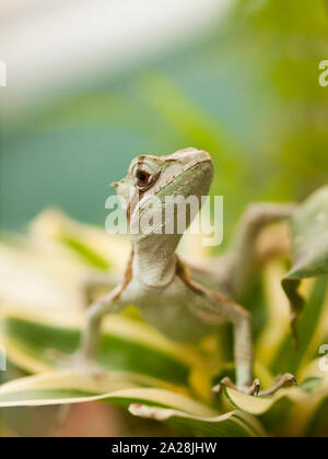 Portrait of Jesus Christ Iguana lizard - Laemanctus serratus - Stock Photo