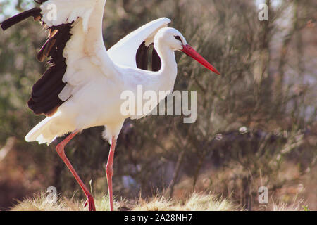 Closeup portrait of adult white stork (Ciconia ciconia) with spreadened wings  in natural environment - Stock Photo