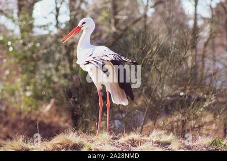 Closeup portrait of white stork (Ciconia ciconia) in natural environment - Stock Photo