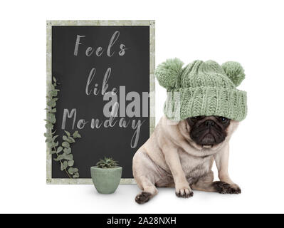 cute grumpy pug puppy dog with bad monday morning mood, sitting next to blackboard sign with text feels like monday, isolated on white background