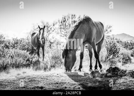 Wild horses feeding on dry grass at the Lower Salt River recreation area of Tonto National Forest, in Arizona. - Stock Photo