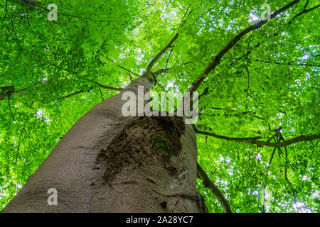 beautiful big and high tree with green leaves, summer season nature background - Stock Photo