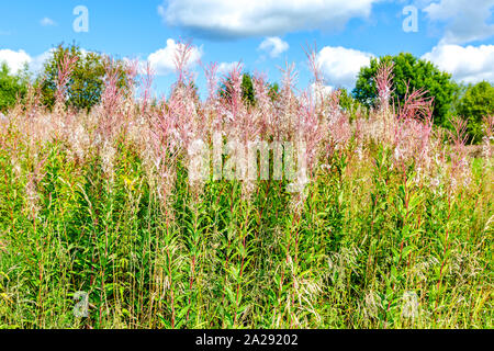 Purple Alpine fireweed. Pink-flowered Epilobium angustifolium close-up. Fireweed faded after flowering - Stock Photo