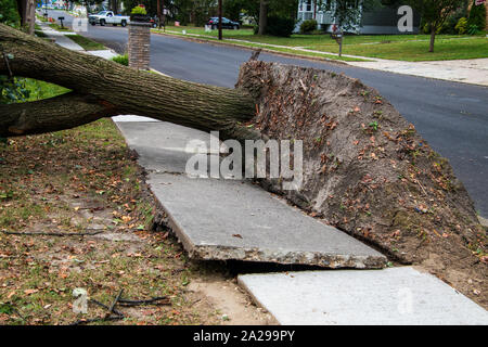 Large uprooted tree laying across the sidewalk and onto the lawn in a residential neighborhood. The concrete of the sidewalk is lifted and broken - Stock Photo