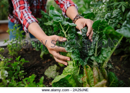 Close up woman tending to vegetable plants in garden - Stock Photo